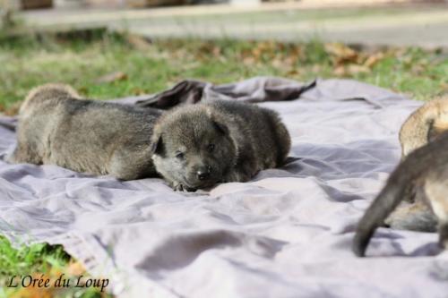 chiot chien-loup tchécoslovaque
