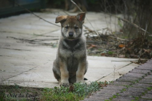chiot chien loup tchécoslovaque