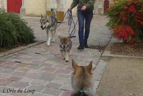 chien-loup-tchecoslovaque-chiots-52j-6