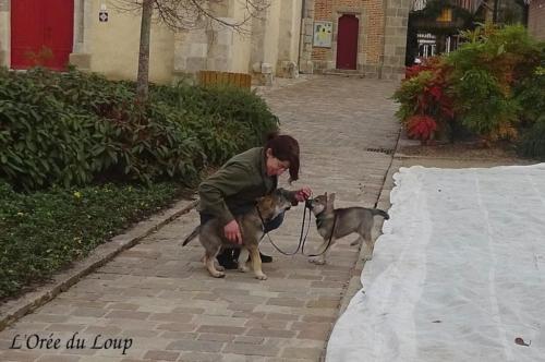 chien-loup-tchecoslovaque-chiots-52j-7