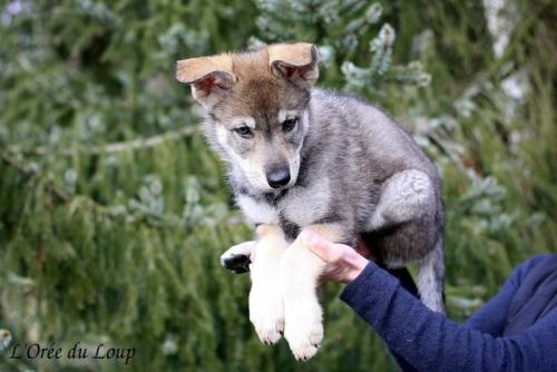 chien-loup-tchecoslovaque-chiots-53j-3