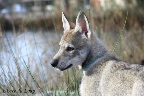 chien-loup-tchecoslovaque-chiots-56j-1