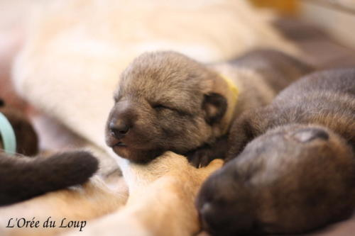 chiot-chien-loup-tchecoslovaque