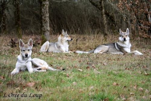 chien-loup-tchecoslovaque-oural-10