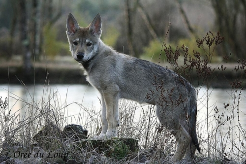 chien-loup-tchecoslovaque-oural-2
