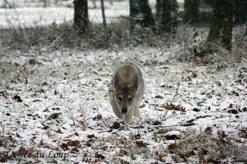 chien-loup-tchecoslovaque-oural-3