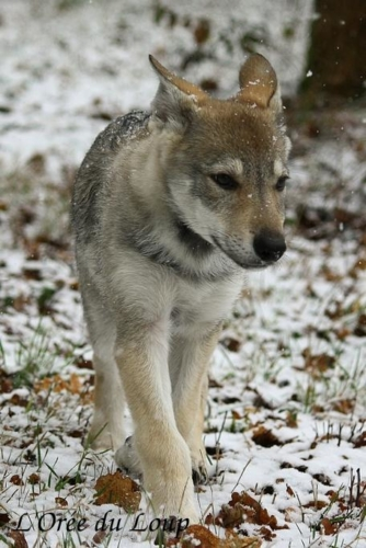 chien-loup-tchecoslovaque-oural-5