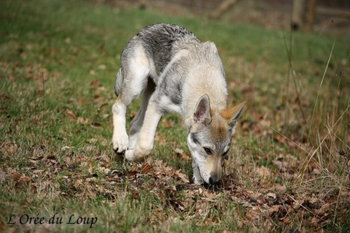 chien-loup-tchecoslovaque-oural-6
