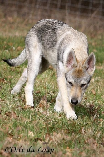 chien-loup-tchecoslovaque-oural-6bis
